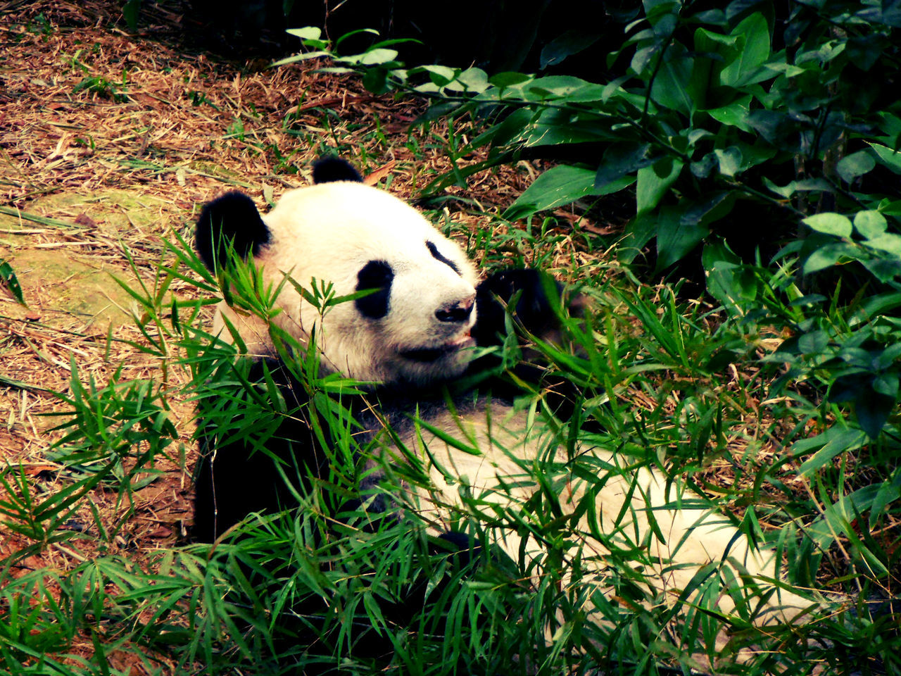 Animal Themes Bamboo Giant Panda Laid Back Life Mammal One Animal Panda - Animal Panda Bear Singapore Zoological Garden Way Of Life