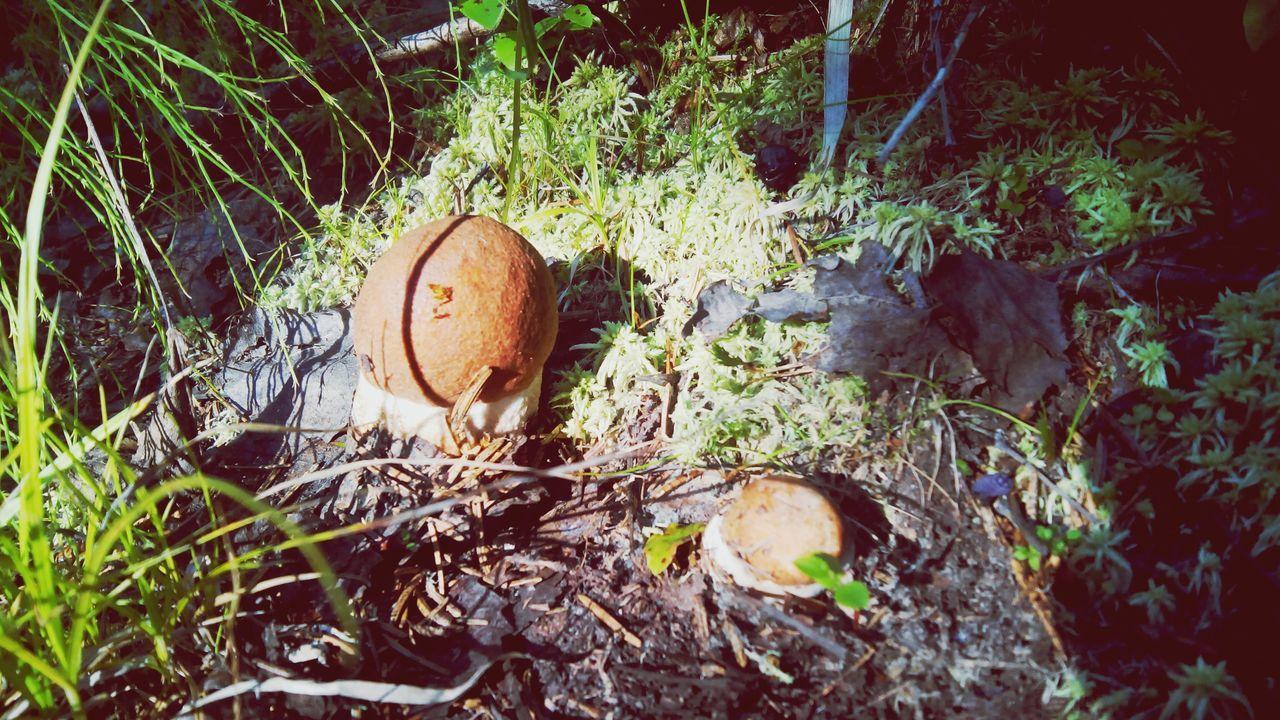 карелия подосиновики грибы Лес Природа Karelia Nature Summer Mushroom