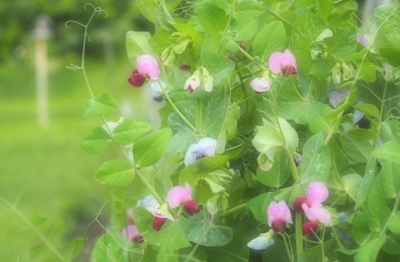 えんどう豆の花 Flower Vegetable Flower Naturelover Nature_collection Nature Photography Nature
