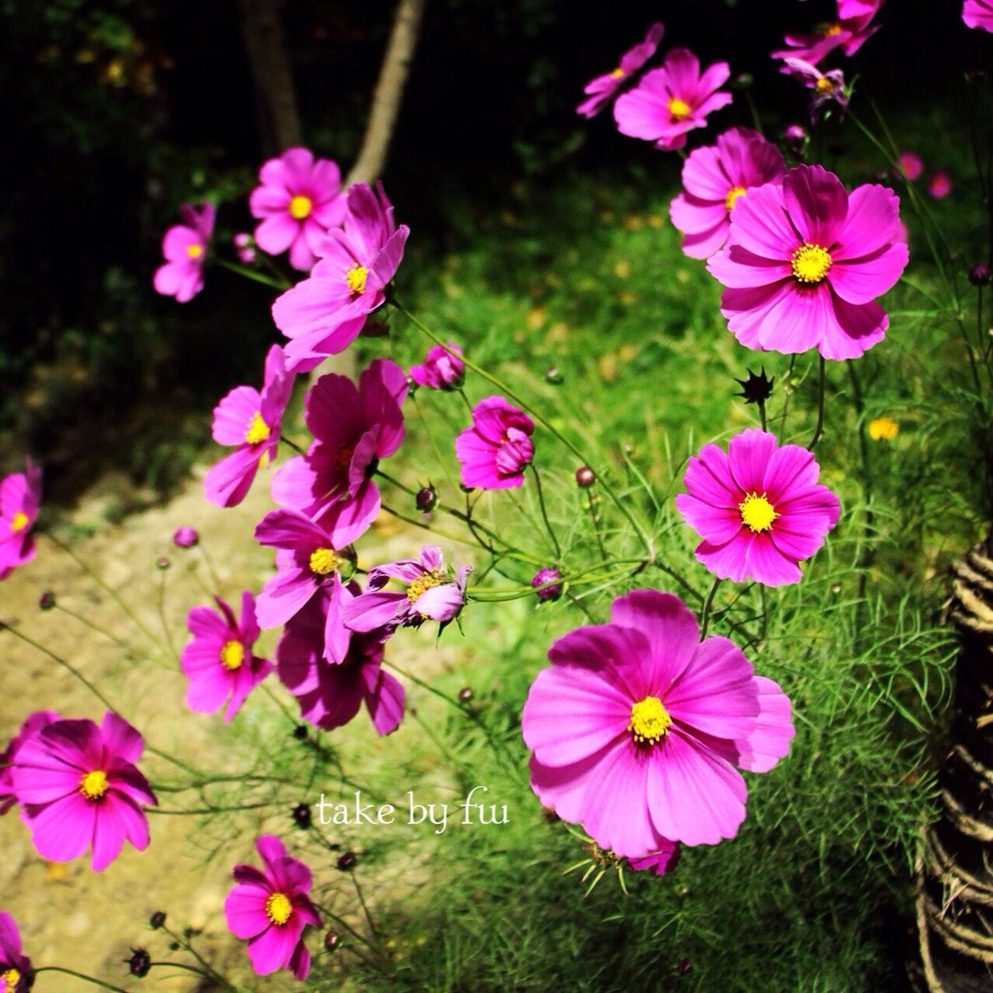 Flowers Pink Flower 格桑花 The Scenery Of The Plateau Area