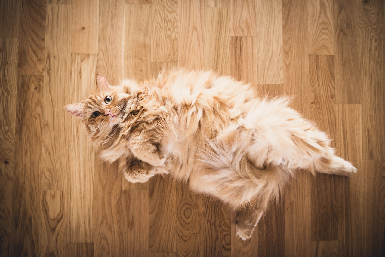 Animal Hair Animal Themes Brown Cat Cat Photography Day Domestic Animals Feline Hairy  Mammal No People One Animal Parquet Floor Pet Pet Photography  Pets Wooden