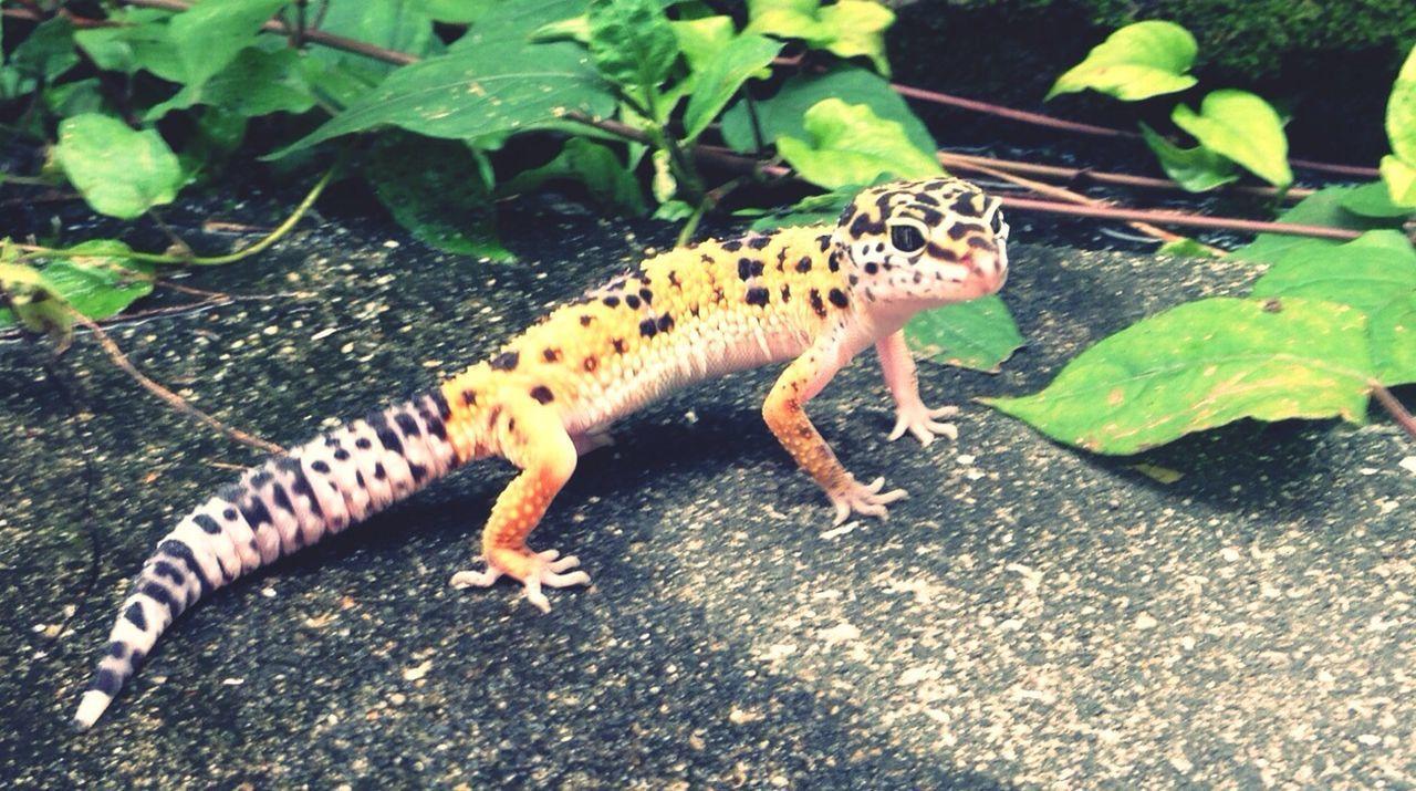 Full Length Of Leopard Gecko