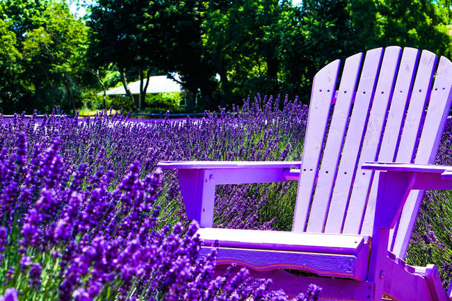 Beauty In Nature Blooming Blossom Blue Botany Day Flower Fragility Freshness Front Or Back Yard Green Color Growing Growth In Bloom Lavender Farm Lawn Lush Foliage Nature No People Outdoors Petal Plant Purple Tranquility Tree