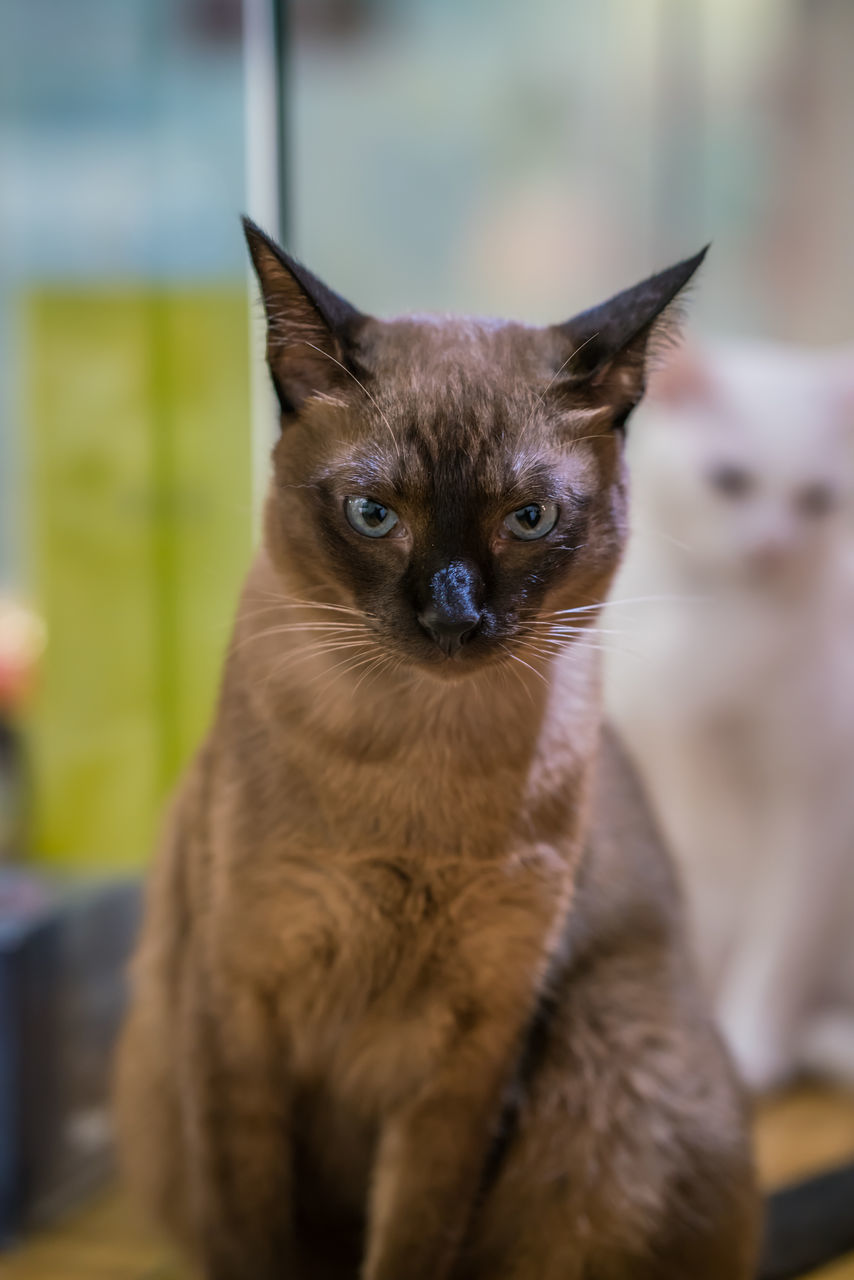 domestic cat, pets, mammal, domestic animals, animal themes, feline, one animal, looking at camera, portrait, whisker, focus on foreground, close-up, no people, indoors, home interior, sitting, day, kitten