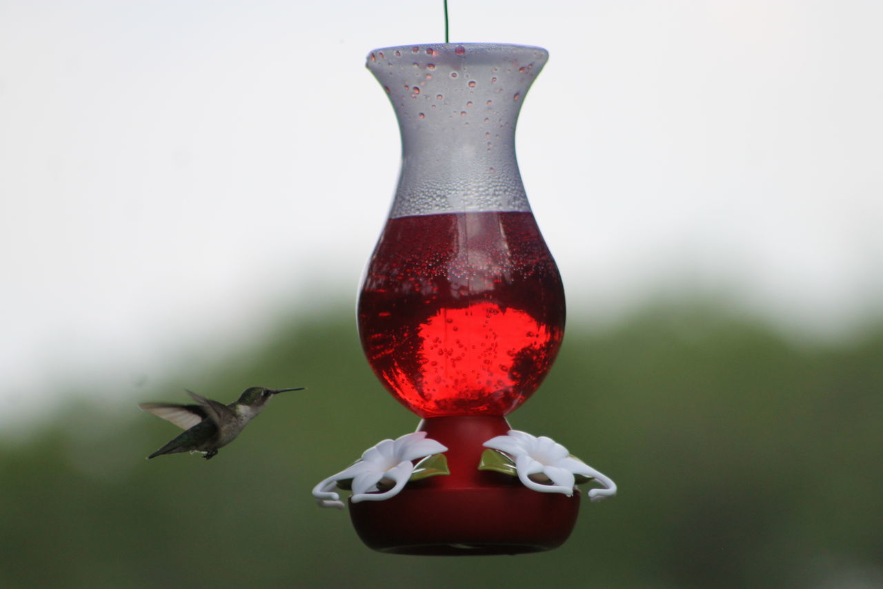 Ruby-throated hummingbird...They come to visit us in the Saguenay from mid-May to the end of September ... Animal Themes Animal Wildlife Animals In The Wild Bird Bird Feeder Close-up Day Flying Focus On Foreground Food Food And Drink Hanging Hummingbird Mid-air Nature No People One Animal Outdoors Red Ruby-throated Hummingbird Saguenay, Québec, Canada The Great Outdoors - 2017 EyeEm Awards