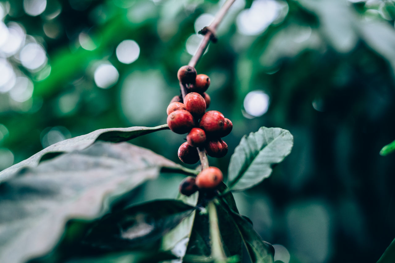 organically grown coffee plant Agriculture Antioxidant Backgrounds Beauty In Nature Bokeh Caffeine Close-up Coffee Day Food Food And Drink Freshness Fruit Green Color Growth Healthy Eating Leaf Nature Organic Outdoors Plant Red Selective Focus Tree Water