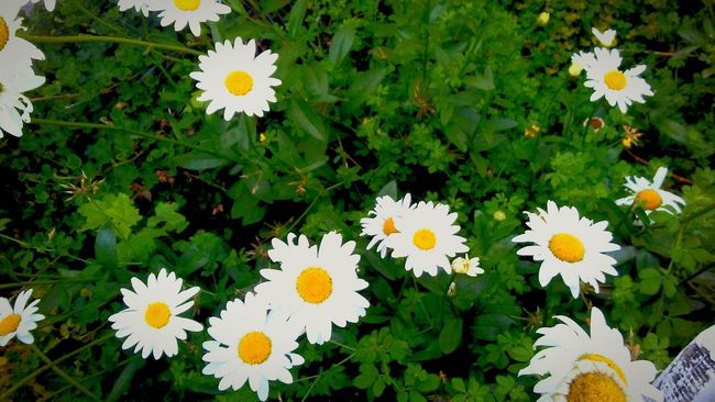 Daisys Downtown Garden Photography 3rd Street Eye4photography  Hanging Out Floral Taking Photos Check This Out Relaxing Awardwinningstreet Not Mine But I Love It Anyway Home Town Pride Locals EyeEm Gallery Nature_collection Nature Photography Walking Home Save The Honey Bees The Mix Up Beautiful Garden Daisy ♥ Daisy Garden Beauty In Nature Eye Em Nature Lover