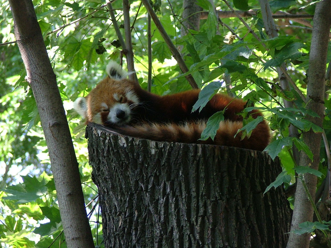 Animal Themes Animal Wildlife Animals In The Wild Leaf Mammal Nature One Animal Red Panda Red Panda Bear Relax Relaxation Relaxing Relaxing Time Tree Vörös Panda Zoo Of Budapest