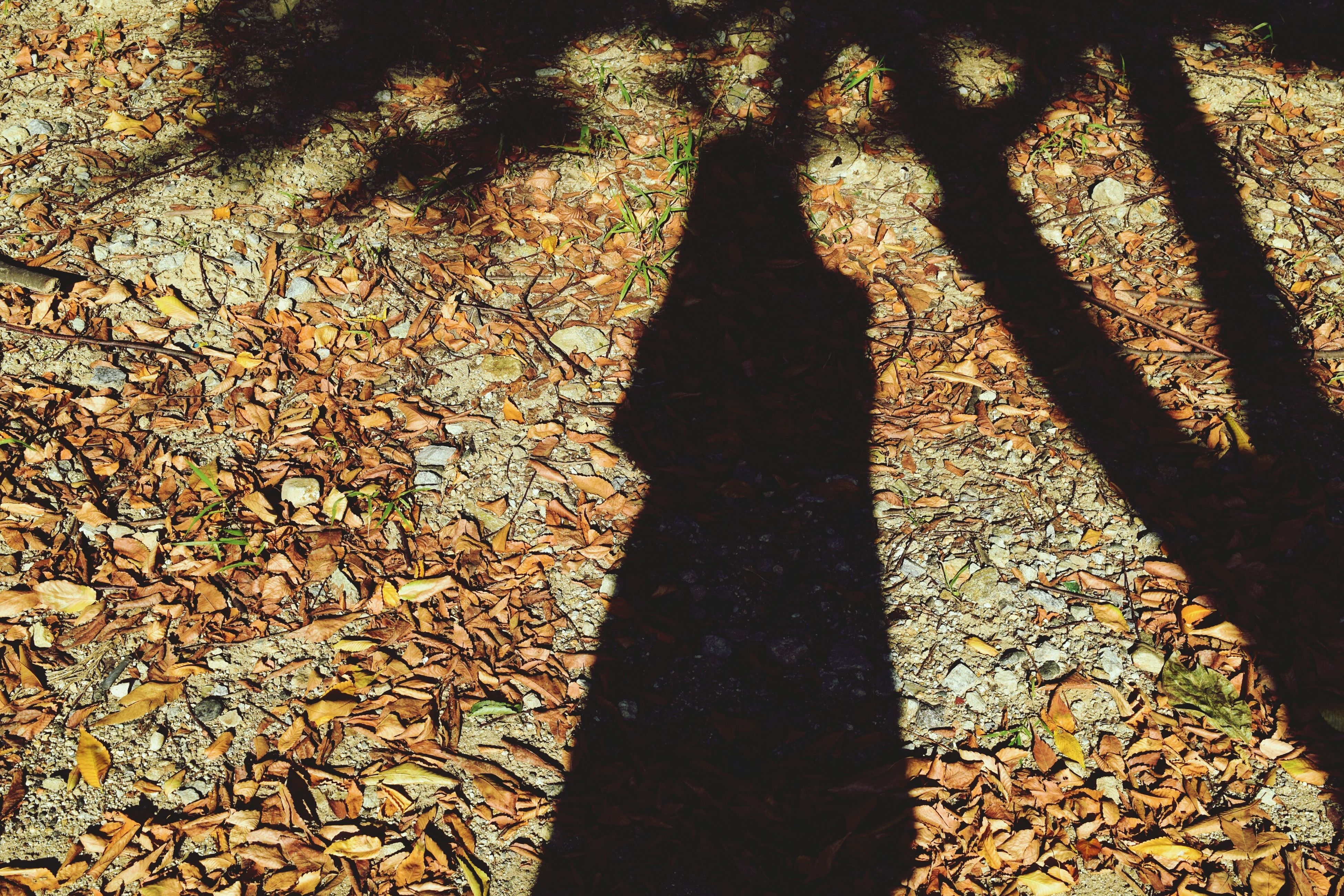 shadow, focus on shadow, sunlight, high angle view, tree, silhouette, nature, growth, leaf, unrecognizable person, outdoors, tranquility, day, tree trunk, branch, lifestyles, autumn, standing