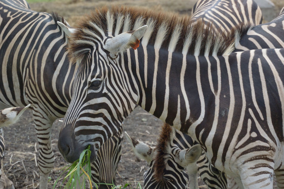 Beautiful stock photos of zebra, Animal Markings, Animal Themes, Animals In The Wild, Beauty In Nature