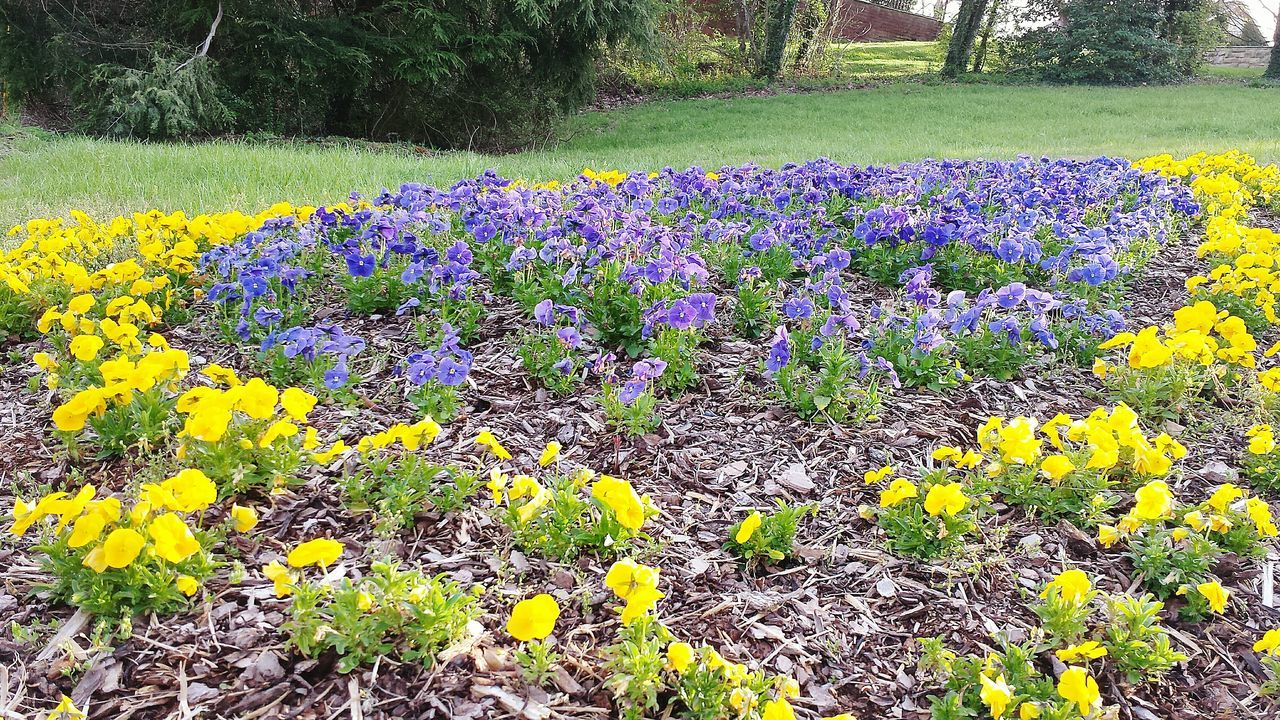 flower, nature, beauty in nature, growth, tranquility, plant, day, field, purple, no people, yellow, outdoors, tranquil scene, flowerbed, fragility, freshness, springtime, scenics, landscape, crocus, rural scene, flower head