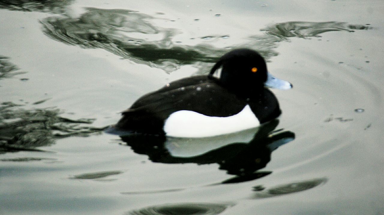 Tuffted Duck Water Swimming Black Color Animal Themes Animals In The Wild Reflection Lake Close-up Day Bird Nature Outdoors Water Bird Duck