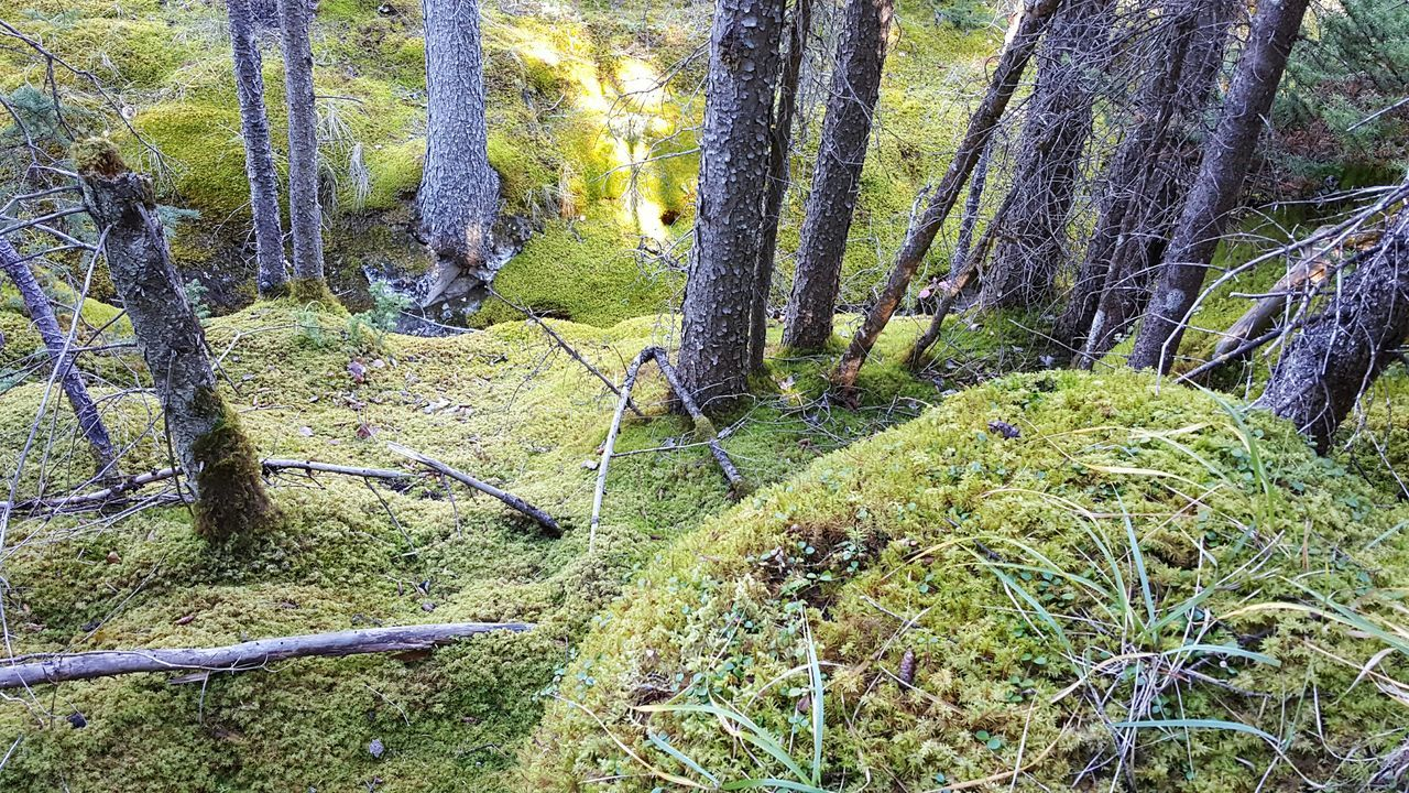 Tranquility Tree Forest Nature Growth Tree Trunk Tranquil Scene Green Color Scenics Non-urban Scene Plant Beauty In Nature WoodLand Outdoors Day Overgrown Full Frame Green No People Vacations Moss Carpet Of Moss