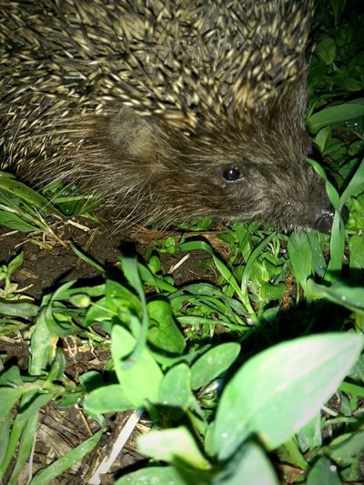 One Animal Animals In The Wild Animal Wildlife Nature No People Green Color Outdoors Animal Themes City Krasnodar Night Nature Street Beauty In Nature Leaf Close-up Reptile Mammal Hedgehog Nightlife Top EyeEm Popular Photos Top Popular Photo