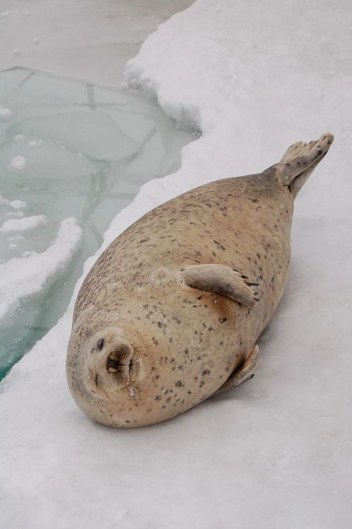 Seal, Hokkaido, Japan Seal Hokkaido Japan Winter Snow Ice Outdoors Animal Fauna Cute Cold Adorable Nature Nature_collection Nature Photography Flippers Blubber Snout