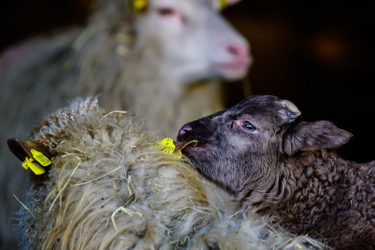 Easter Ready nibble at Mamas ear 😂 Lamm Lamb Sheep Easter Lamb Osterlamm Schafe Animals Tiere Photooftheday Eye4photography