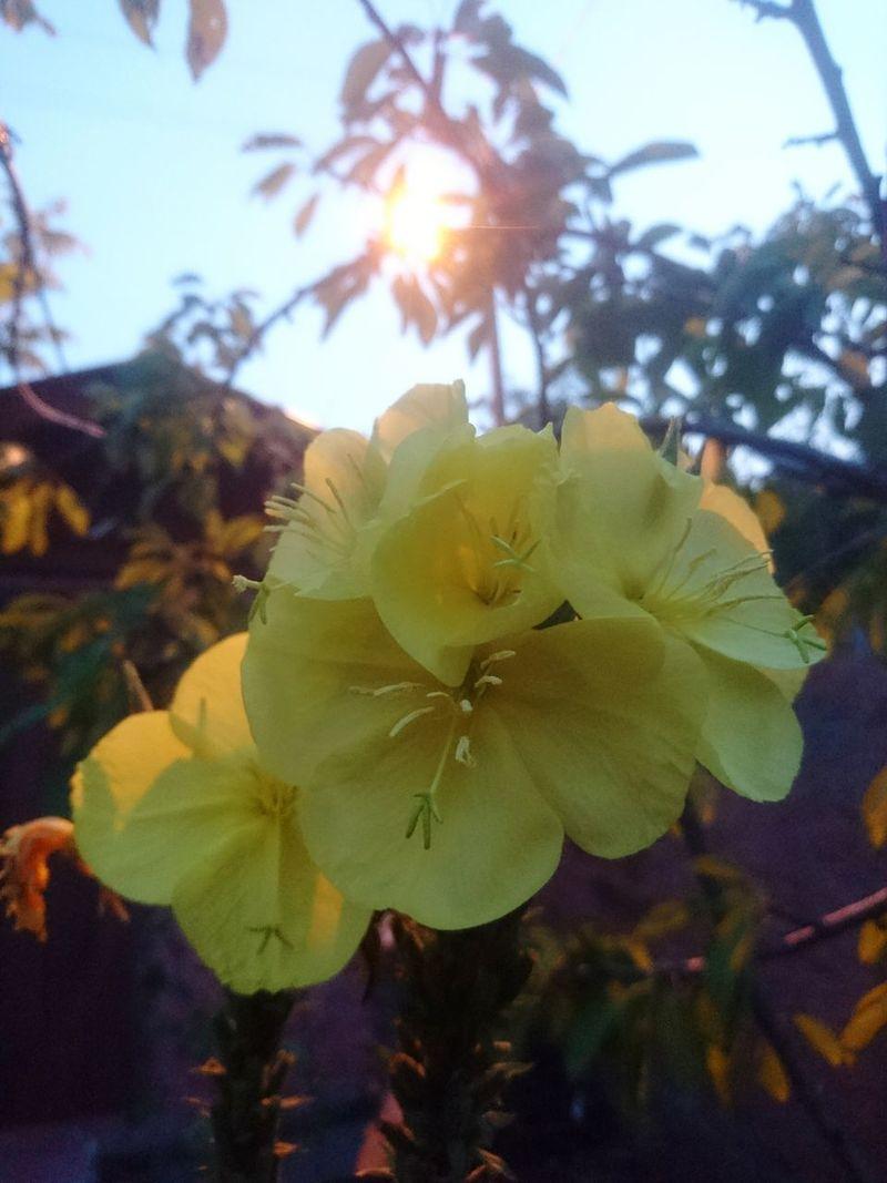 Flower Fragility Flower Head Nature Freshness Beauty In Nature Growth Outdoors Sky Yellow Yellow Flower Yellow Color Yellow Flowers Tekir Akçatekir Pozantı Flower Collection Flowerlovers çiçek Ezançiçeği Flora Blooming Color Colorsplash The Week On EyeEm
