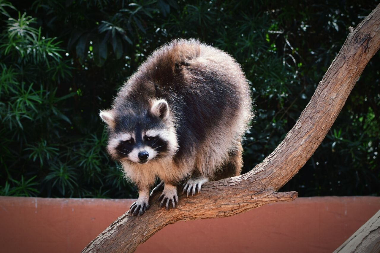 one animal, mammal, red panda, animal themes, animals in the wild, animal wildlife, wood - material, day, outdoors, no people, nature, looking at camera, raccoon, tree, close-up
