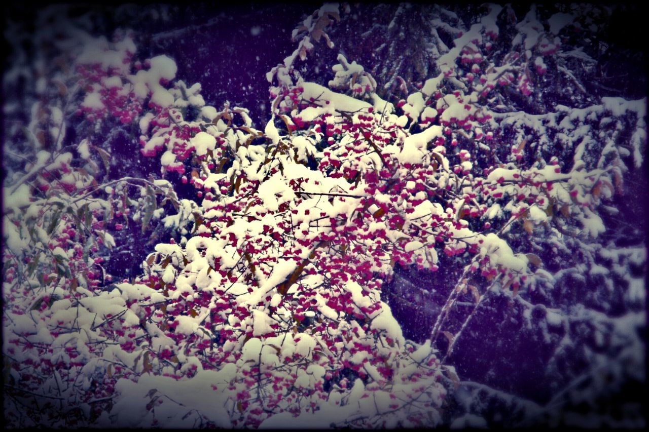 Winter Snow ❄ Bush Berrys Beauty In Nature Outdoor Photography No People