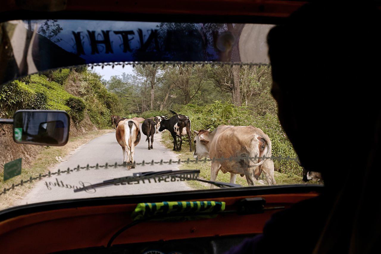 Rickshaw rides Traveling India Cows