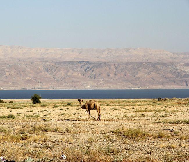 Camel in the desert Camel Desert Deadsea Israel