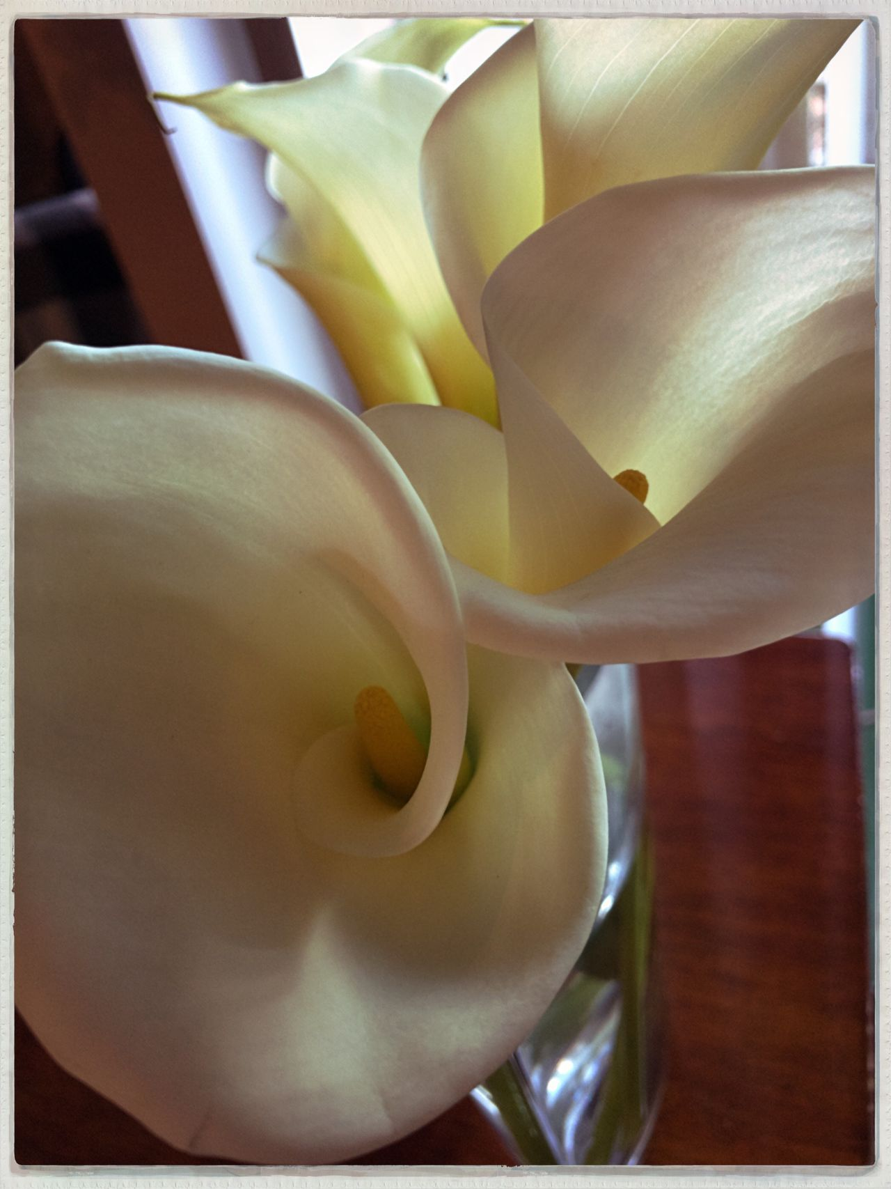 Flower Freshness Fragility Close-up Nature Petal Beauty In Nature No People Flower Head Growth Indoors  Day Calla Lily