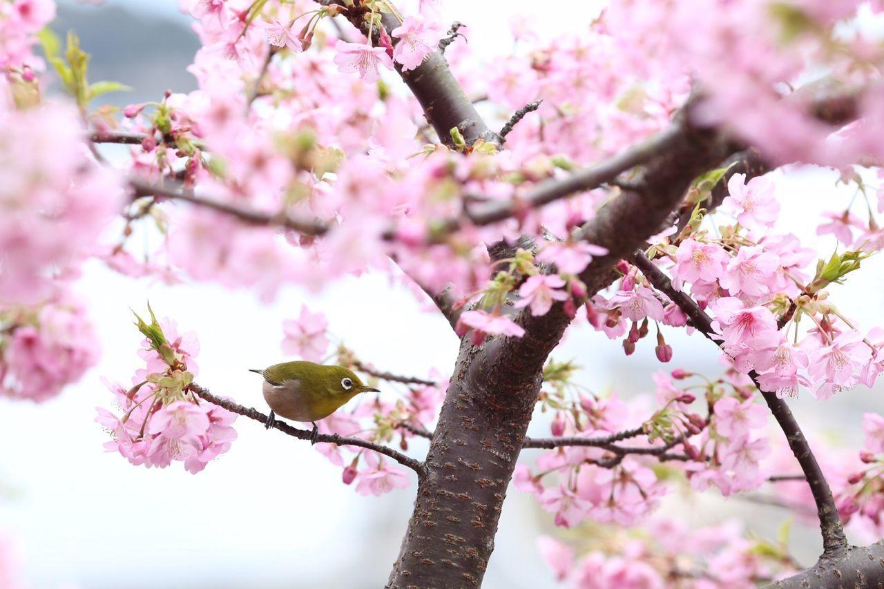 Bird Perching On Branch Of Cherry Blossom Tree