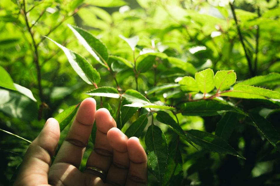 Human Hand Human Body Part Leaf Green Color Nature Agriculture People Growth Outdoors Freshness Beauty In Nature EyeEm Indonesia First Eyeem Photo Nature Growing Growth Day TCPM Break The Mold