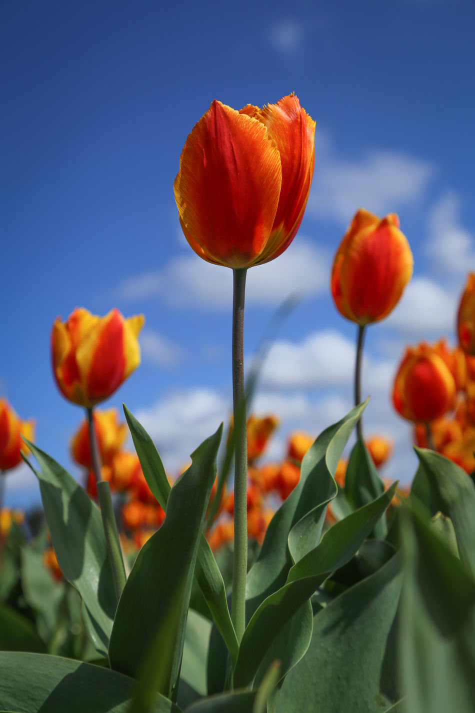 Flower Growth Plant Nature Beauty In Nature No People Close-up Outdoors Sky Flower Head Day Red Orange Yellow Tullips Typical Dutch Blue Sky Tulips🌷 Rows Of Tulips Hollands Landschap Holland Springtime Landscape Tourist In My Own Country Happiness