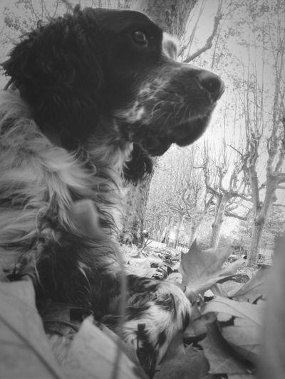 Blackandwhite Dog English Setter