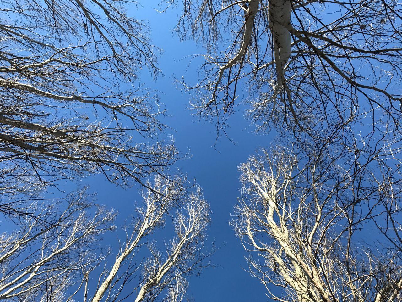 Intotheblue  Trees And Sky Tree Trunk Poplars Poplargrove Pioppeto Cielo Nature Outdoors Poplar Tree