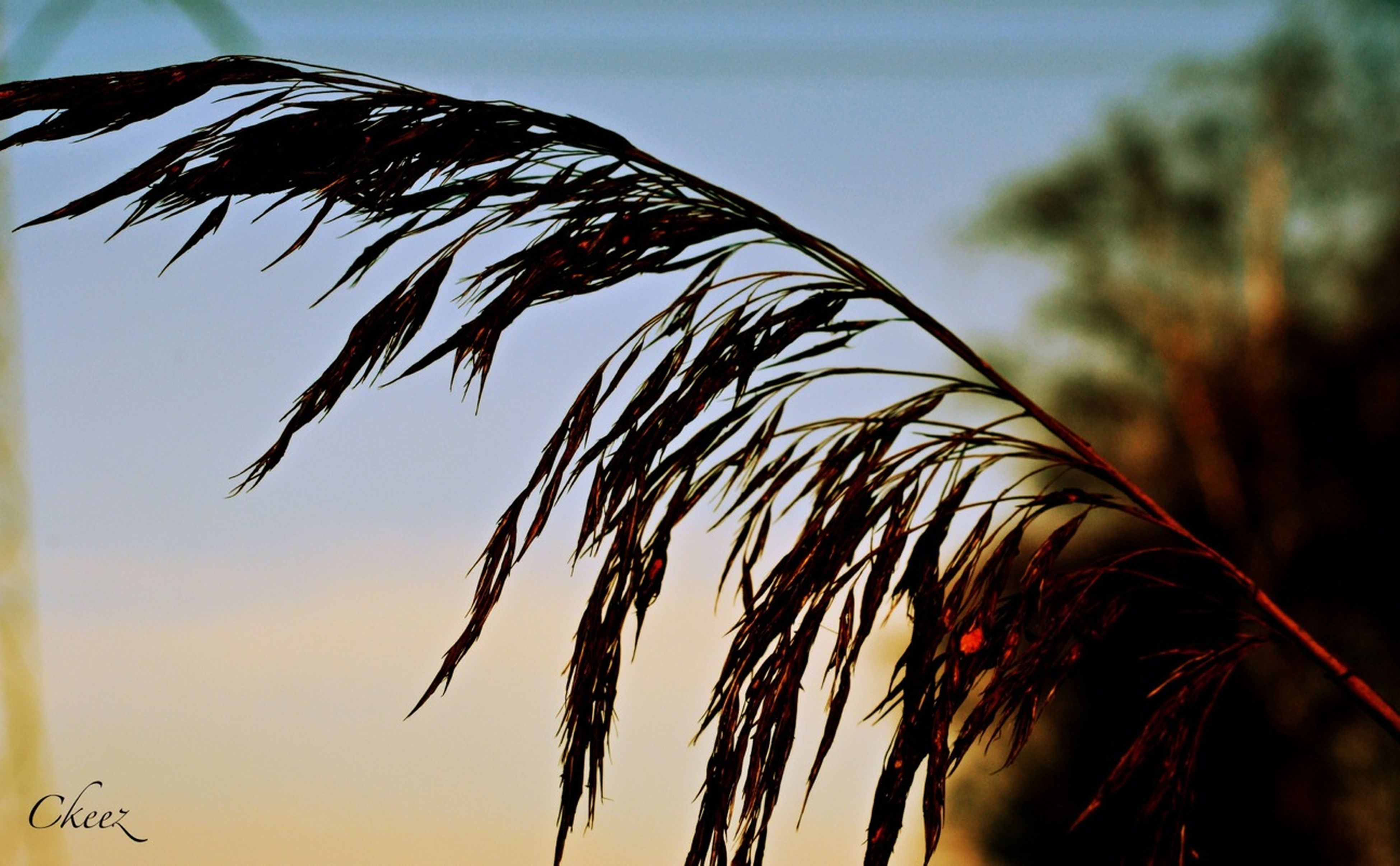 close-up, focus on foreground, growth, nature, plant, cereal plant, stem, dry, tranquility, straw, beauty in nature, growing, stalk, outdoors, crop, day, spiked, wheat, no people, sky