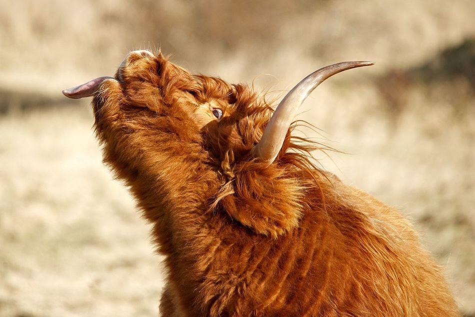 Animal Animal Head  Brown Bull Flehming Highland Cattle Mammal Portrait Schottisches Hochlandrind
