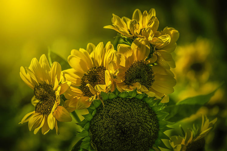 Sun Flowers #JustMe #flowers#nature#hangingout#takingphotos#colors#hello World#flora#fauna #macro #flower #floral #flora #nature #macrophotography #photo #photos #pic #pics #picture #pictures #snapshot #art #beautiful #instagood #picoftheday #photooftheday #color #all_shots #exposure #composition #focus #capture #moment #photography #photo #photos #pic #pics #TagsForLikes #picture #pictures #snapshot #art #beautiful #instagood #picoftheday #photooftheday #color #all_shots #exposure #composition #focus #capture #moment #sunset #sun #clouds #skylovers #sky #nature #beautifulinnature #naturalbeauty #photography #landscape #sunset #sun #clouds #skylovers #skyporn #sky #beautiful #sunset #clouds And Sky #beach #sun _collection #sunst And Clouds #yellow #flowers Beauty In Nature Blooming Close-up Day Flower Flower Head Fragility Freshness Green Color Growth Nature No People Outdoors Petal Plant Sunflower Yellow