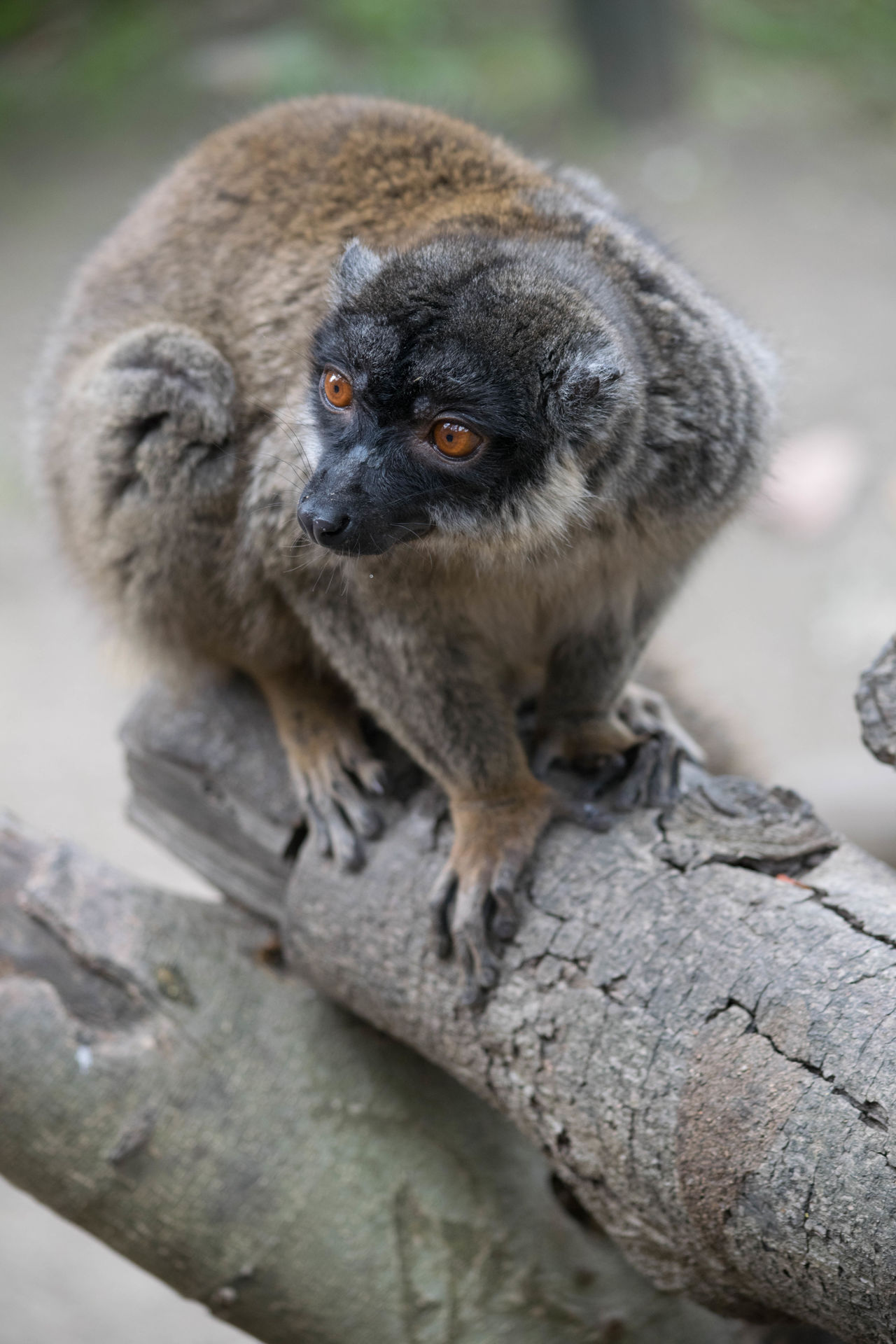 Animal Animal Photography Animal Themes Animal Wildlife Animals In The Wild Close-up Cute Day Exotic Creatures EyeEm Nature Lover Fluffy Lemur Lemurs Mammal Nature No People Outdoors SPAIN Tree Wildlife Wildlife & Nature Wildlife Photography Wildlife Photos Zoo Zoo Animals