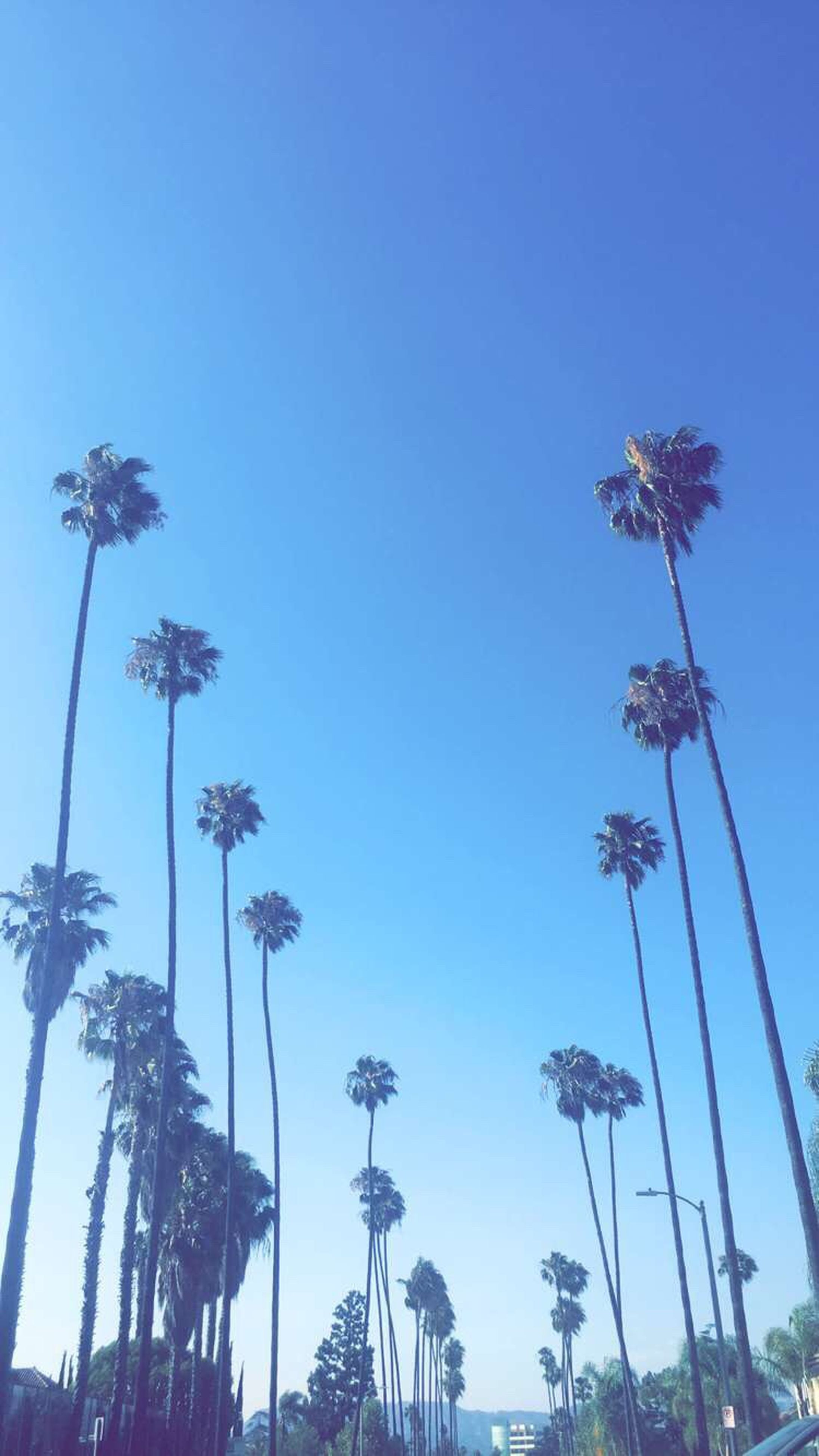 low angle view, palm tree, clear sky, tree, street light, blue, sky, lighting equipment, tall - high, growth, nature, outdoors, no people, coconut palm tree, day, beauty in nature, pole, tranquility