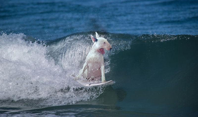 Summer is coming! Dog Bullterrier Bull Dogs Summer Surfing Surf