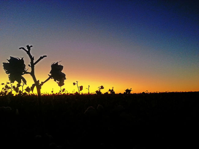 Goodmorning hope everyone has a wonderful day..had to stop and get a picture of the cotton before they cut it.... ? Sunrise Silhouette My Dream Sky Silhouette Sunrise_sunsets_aroundworld