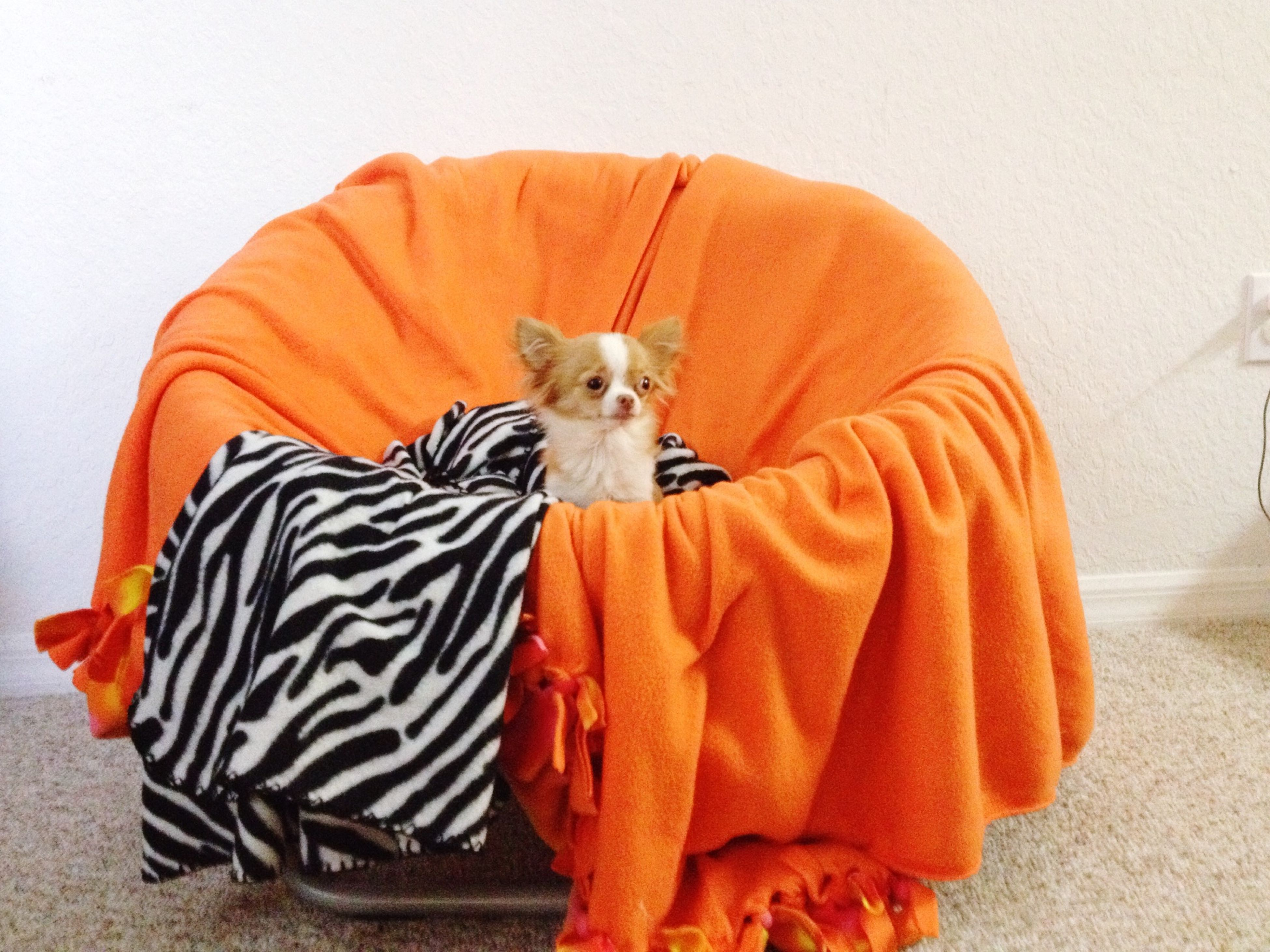 animal themes, one animal, domestic animals, pets, mammal, indoors, sitting, full length, dog, relaxation, portrait, standing, looking at camera, casual clothing, orange color, home interior, front view, holding
