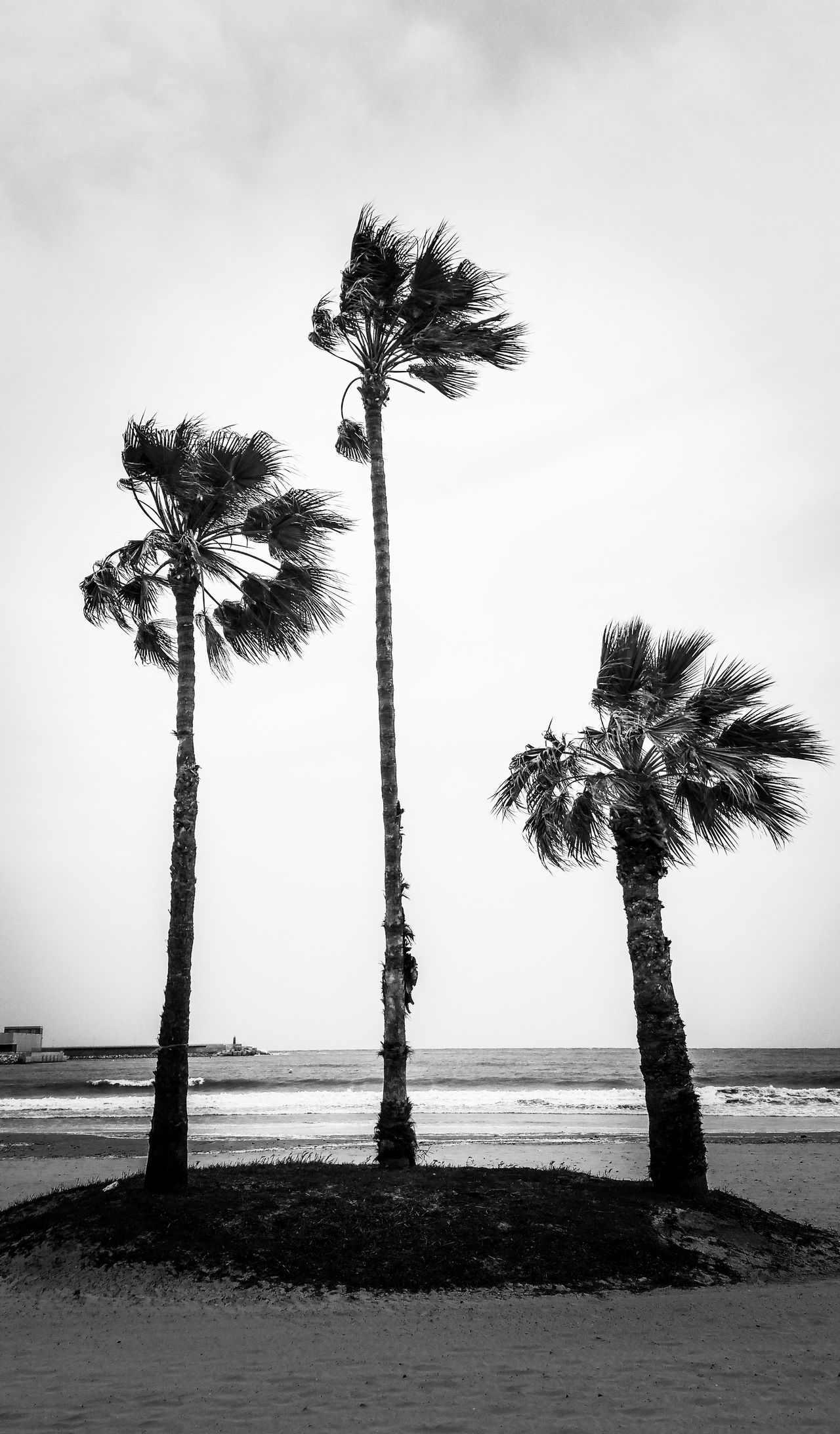 No People Silhouette Tree Sky Day Outdoors Windswept Palm Tree Palm Trees Palmas Torrevieja Water Mediterranean  Blackandwhite Seaside Beach Three