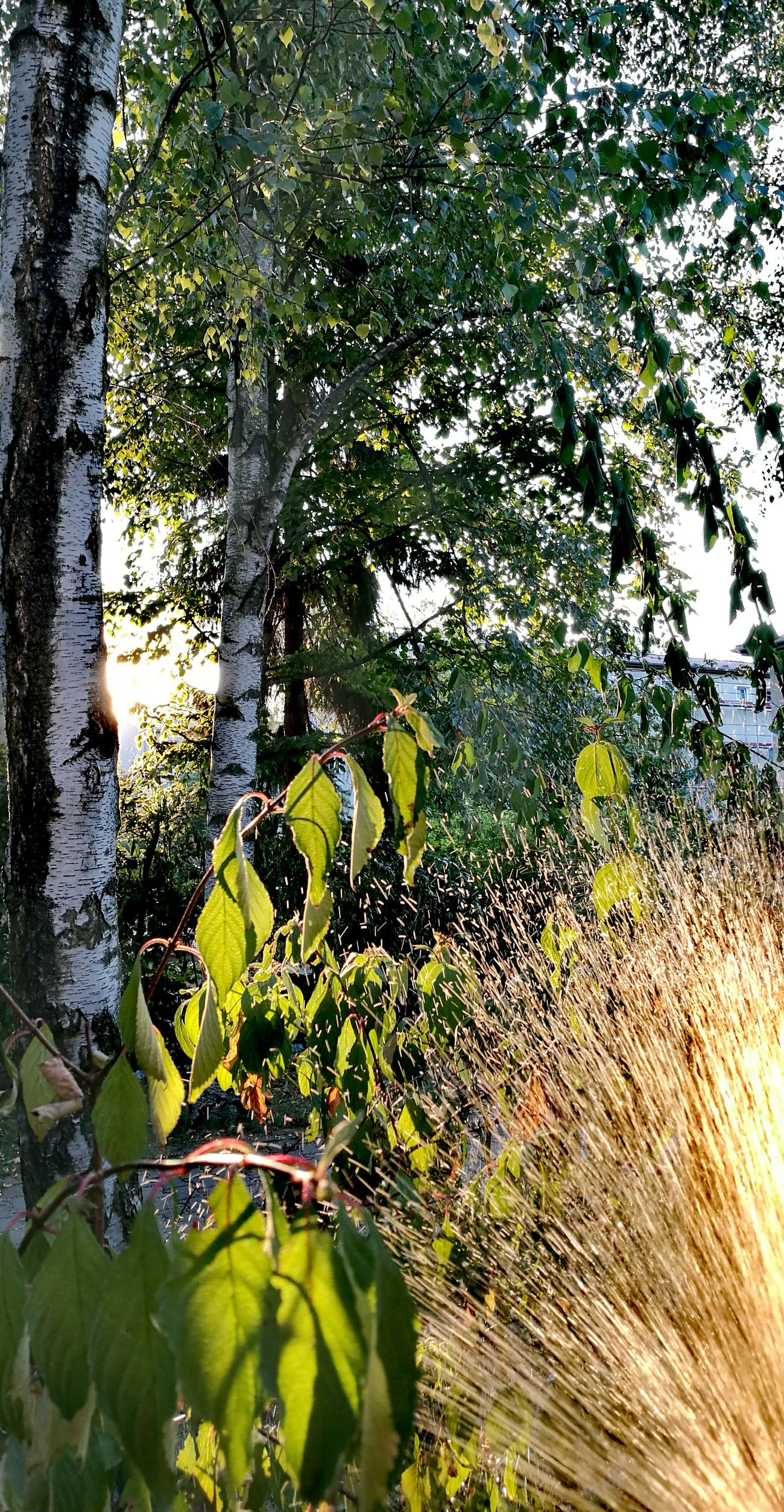 Beauty In Nature Outdoors Evening Light In Our Garden Watering Plants Berlin Tempelhof Birch Tree Green Leafs