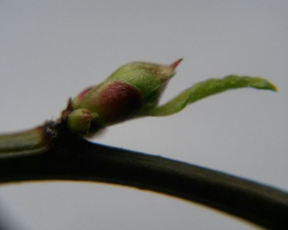 Close-up No People Nature Day Beauty In Nature Green Makro Bud Makrophotography Makrofotografie Green Color First Leaves Bud Opening Bud Branch Tranquility Twig