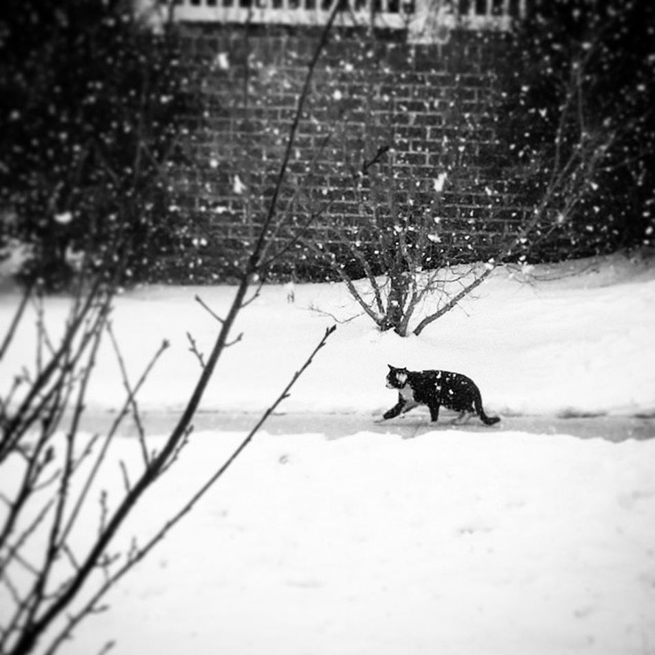 Day 52 Neighbors cat hurrying home before it gets really bad. Puddlewonderful365 Project365 Ciuan365 My_365 BlackAndWhitePhotography GalaxyS5 outmyfrontdoor