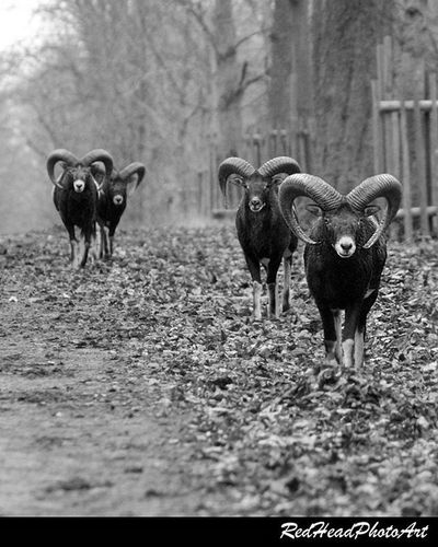 My sweet followers 😜 Wildlife Mouflon Nofilter DSLR Canon Landscape Watchthisinstagood Photooftheday Worldbpicture Picture Picstitch  Damwild Instagood Mufflon Lovely Amazing Wildanimals Plants Outdoor Scenery Instalike Views Colorful Focus Blackandwhite natureporn sheep animals ... https://www.facebook.com/pages/Redhead-Photoart/361778624009885 ... redheadphotoart photographer