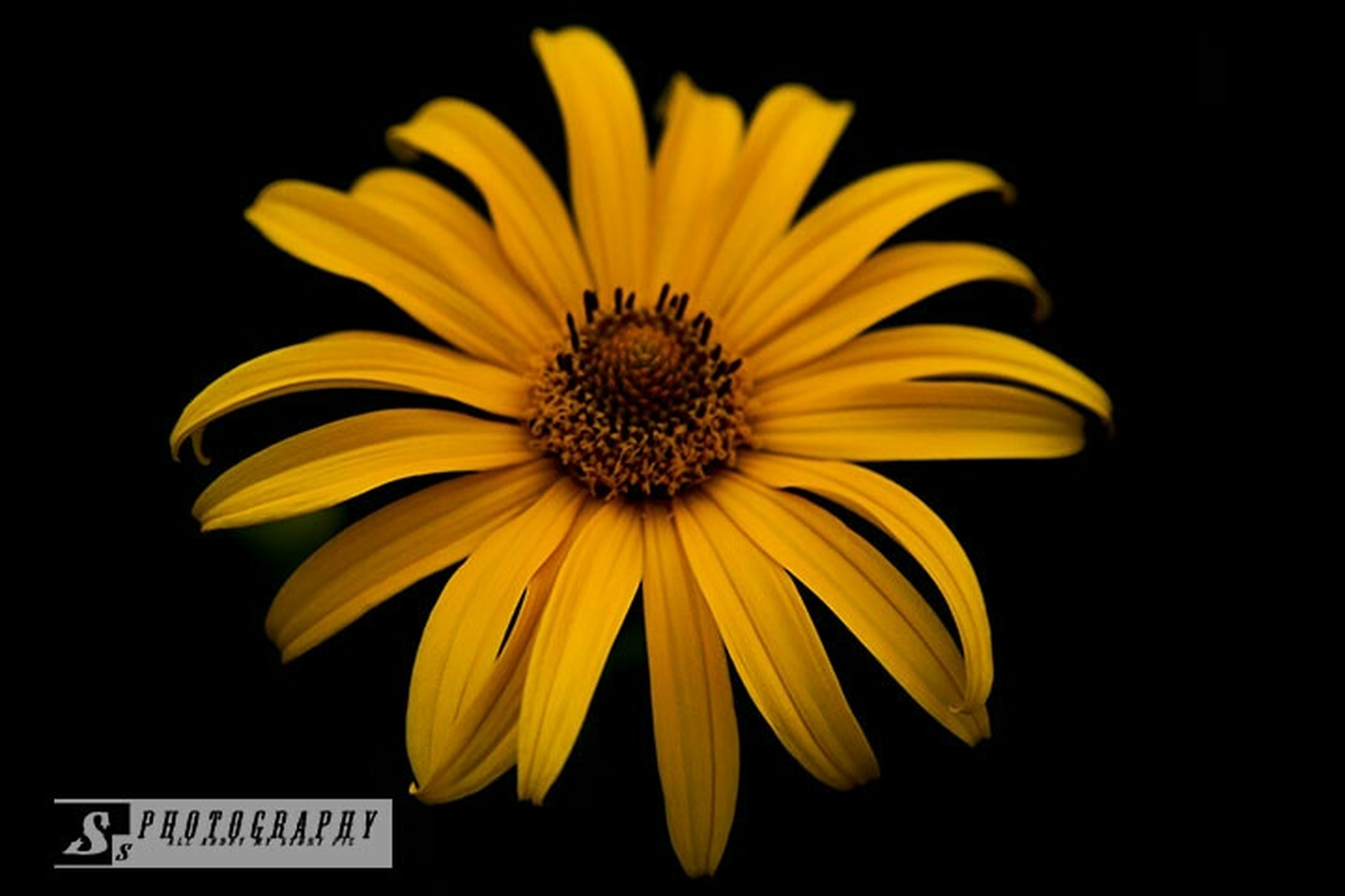 flower, petal, yellow, flower head, freshness, fragility, black background, studio shot, beauty in nature, close-up, pollen, single flower, nature, growth, daisy, blooming, focus on foreground, plant, no people, in bloom