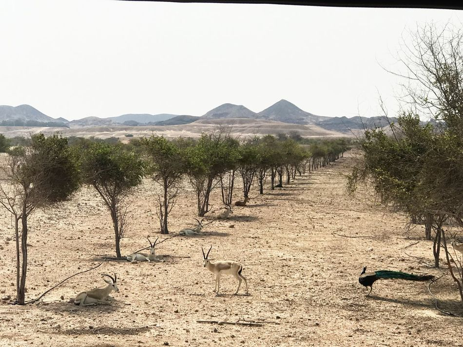 Nature Scenics Landscape Beauty In Nature Tranquil Scene Day Tranquility Outdoors Gazelle Sunlight EyeEmNewHere Beauty In Nature Leisure Activity Desert Clear Sky Desert Shadow Non-urban Scene No People Tree Mountain Arid Climate Sand Sky Animal Themes EyeEmNewHere