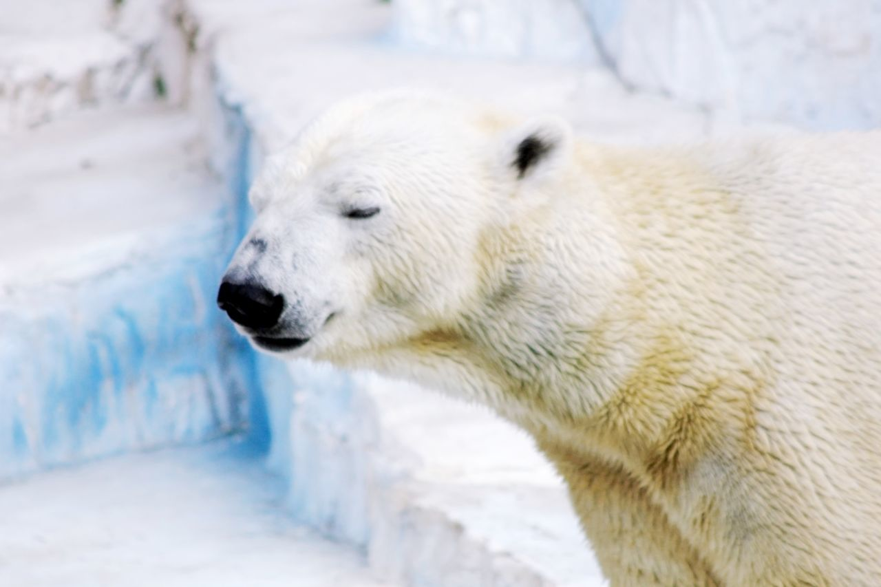 Beautiful stock photos of polar bear, Animal Themes, Animals In The Wild, Beauty In Nature, Cold Temperature