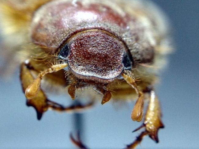 June Bug Scarab Beetle Macro Macrophotography Bugs Insects
