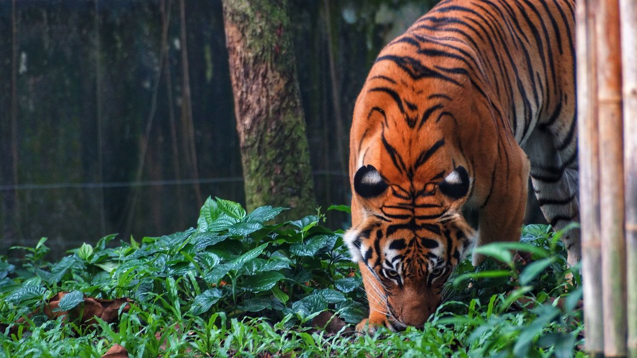 Malayan Tiger 🐯 Animals In The Wild One Animal Tiger Animal Themes Nature Mammal Day Zoo Animal Wildlife Plant Outdoors No People Tree Close-up Malayan Tiger Beauty In Nature