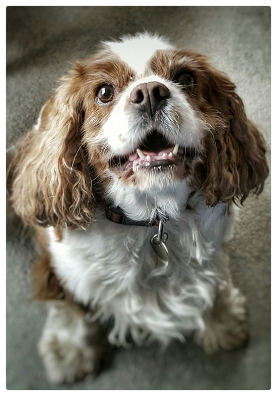 Janey Happiness Cavalier King Charles Spaniel Cavalierkingcharles Dogs Puppy Love ❤